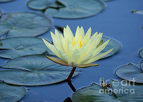 Water Lily by Lisa L Silva