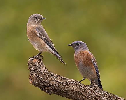 Western Bluebird by Doug Herr