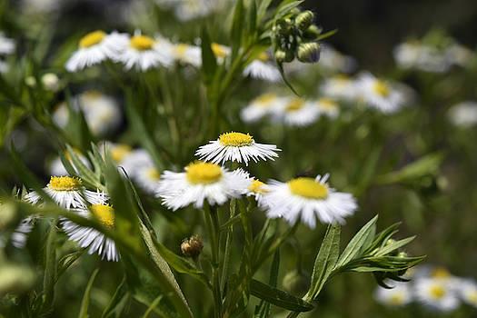 White flowers by Sumit Mehndiratta
