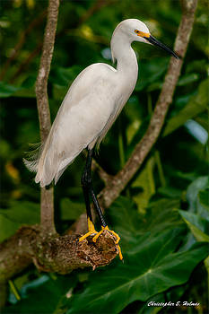 White Egret by Christopher Holmes