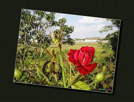 20110526-The-Rose-Bush-v1 by Danny Maynard