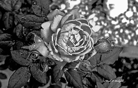 2015 04 19 BW b Rose DSC_5461 by Mark Olshefski