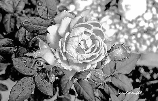 2015 04 19 Rose BW by Mark Olshefski