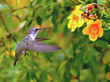 Anna's Hummingbird by Tam Ryan