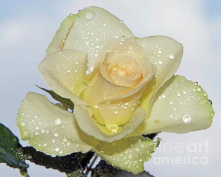 Yellow Rose by Elvira Ladocki