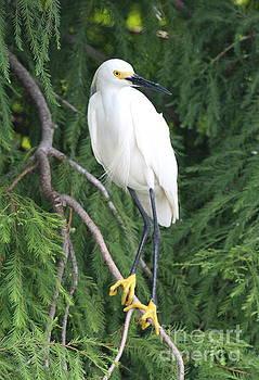 Snowy Egret by Ken Keener