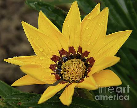 Yellow Gazania by Elvira Ladocki