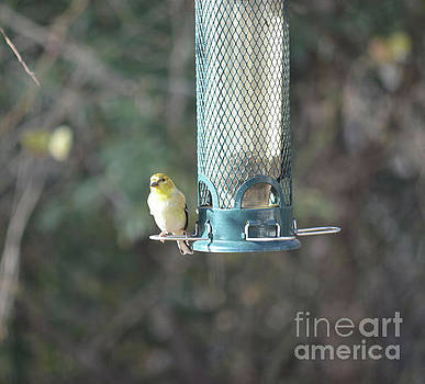 American Goldfinch  by Ruth Housley