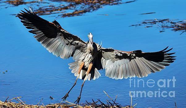 Paulette Thomas - Great Blue Heron