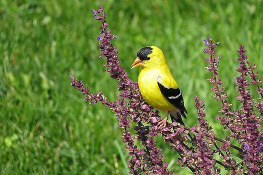American Goldfinch by Jim Nelson