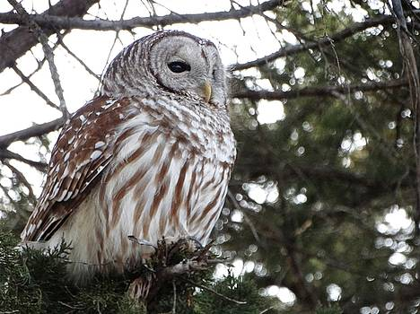 Barred Owl by Rebecca Overton