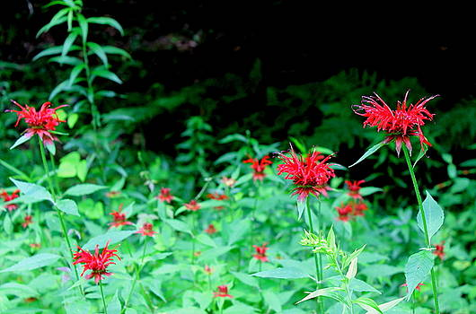 Bee Balm by Brian Lucia