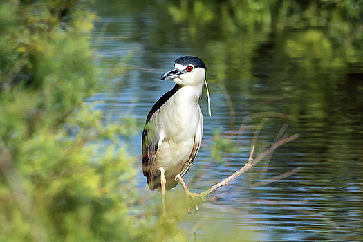Black-crowned Night Heron by Tam Ryan
