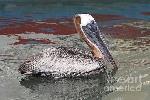 Brown Pelican by Ken Keener