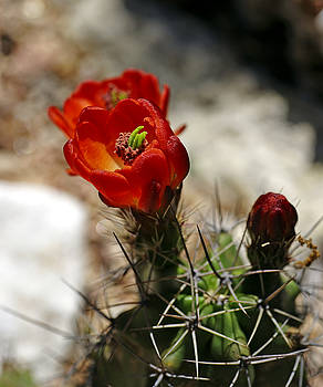 Cactus  Beauty  by Bill Morgenstern