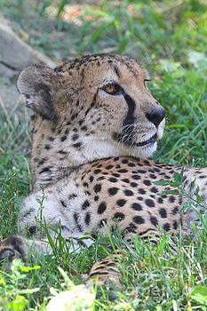 Cheetah by Ken Keener