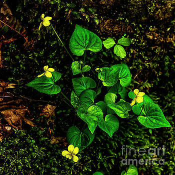 Common Yellow Violet by Thomas R Fletcher