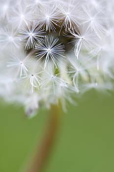 Dandelion by Silke Magino
