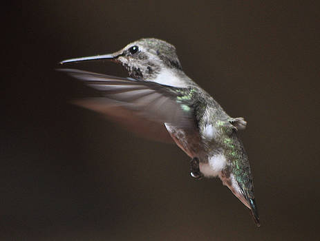 Female Anna's In Flight by Jay Milo