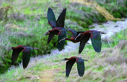 Glossy Ibis by DVP Artography
