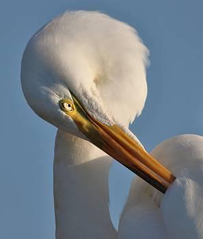 Paulette Thomas - Great White Egret Preening