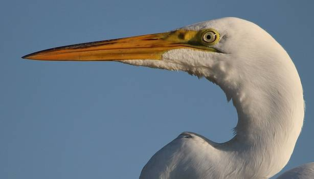 Paulette Thomas - Great White Egret Up Close
