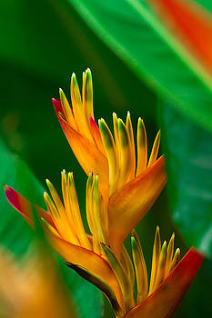 Heliconia by Roger Mullenhour