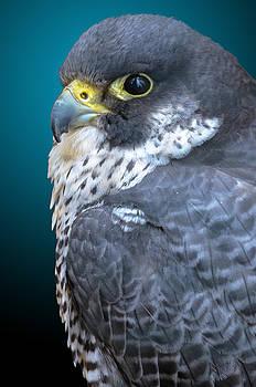 Peregrine Falcon by Brian Stevens