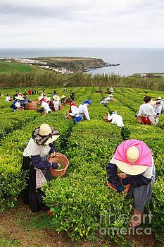 Gaspar Avila - Porto Formoso tea gardens