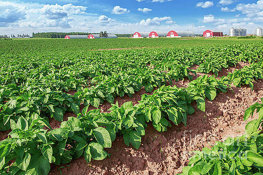 Prince Edward Island Potato Field by Verena Matthew
