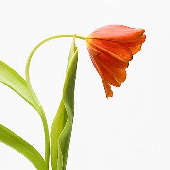 BERNARD JAUBERT - Red tulips on a textured background