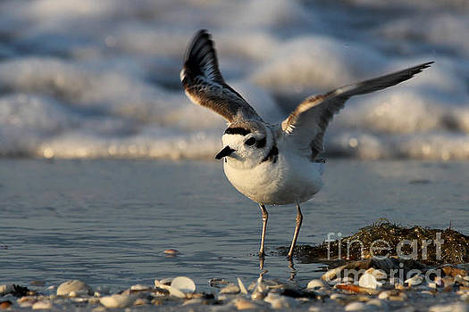 Snowy Plover by Meg Rousher