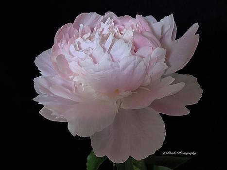 Soft Pink Peony by Jeannie Rhode Photography