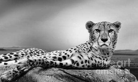 The Cheetah by Christine Sponchia