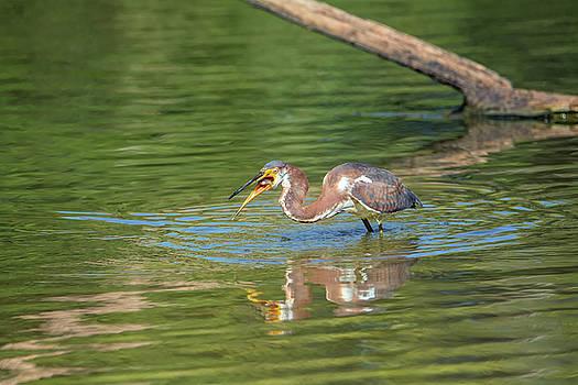 Tam Ryan - Tricolored Heron with Fish