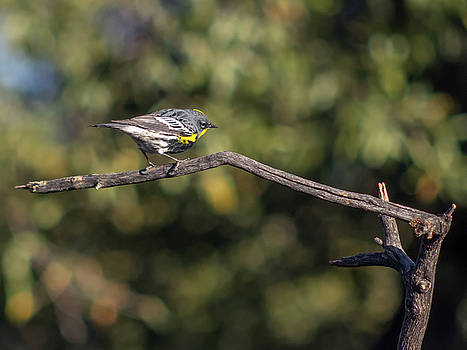 Yellow-rumped Warbler by Tam Ryan