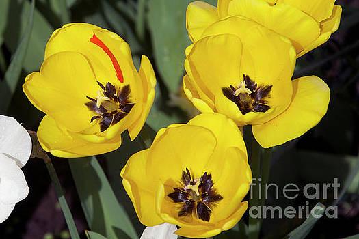 Yellow Tulips by Elvira Ladocki