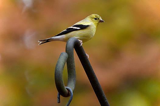 American Goldfinch by Robert L Jackson