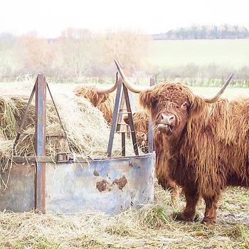 English Longhorn Cattle. by ShabbyChic fine art Photography