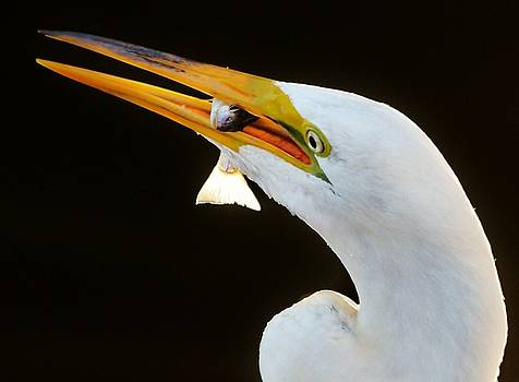Paulette Thomas - Great White Egret with Fish