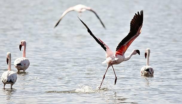 Lesser Flamingos... by Werner Lehmann