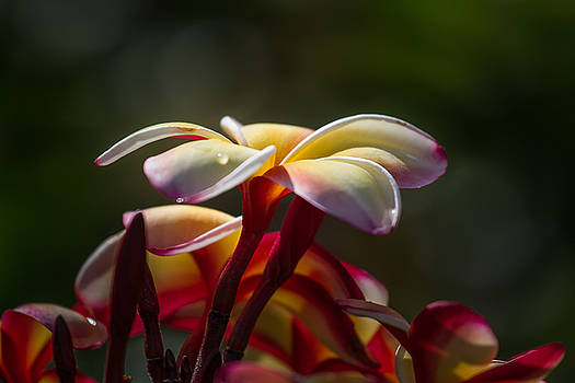 Plumeria by Roger Mullenhour