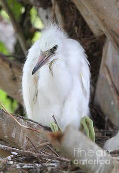 Snowy Egret Baby by Ken Keener