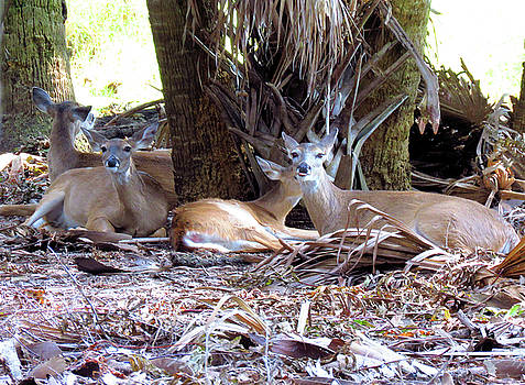 4 Wild Deer by Rosalie Scanlon