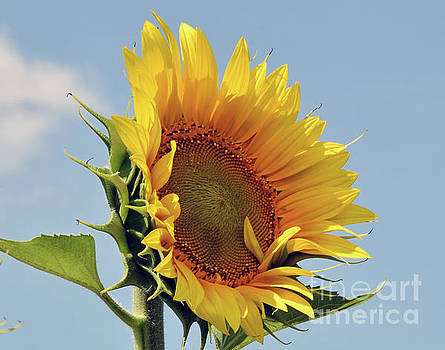 Nice Sunflower by Elvira Ladocki