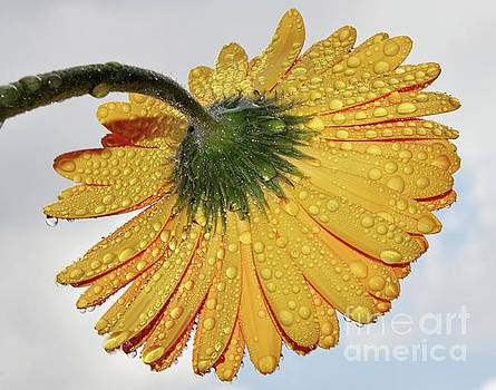Yellow Gerber by Elvira Ladocki