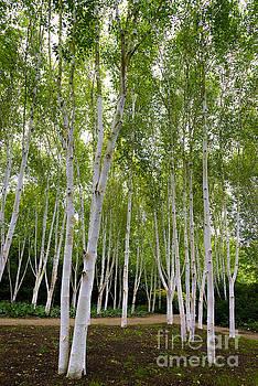 Svetlana Sewell - Birch Trees