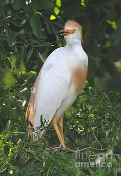 Cattle Egret by Ken Keener