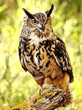 Eurasian Eagle Owl by Amy McDaniel