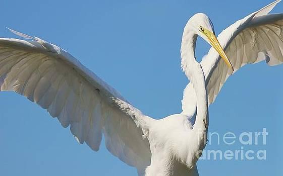 Paulette Thomas - Great White Egret Wings